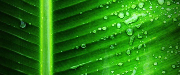 La chlorophylle