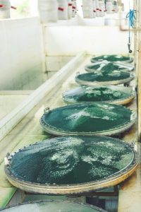 Spiruline : conditions de culture, conservation et certification
